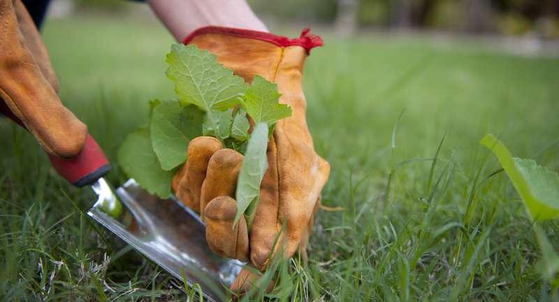 Сорняки на газоне: выявляем и боремся