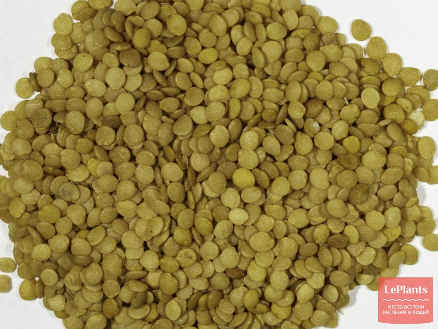 Семена Физалиса