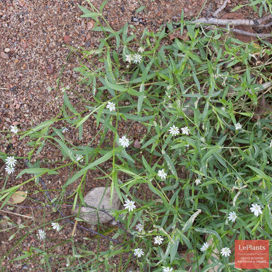 посадка и выращивание дикорослых звездчаток