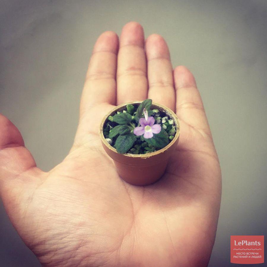 выращивание микро-синнингии