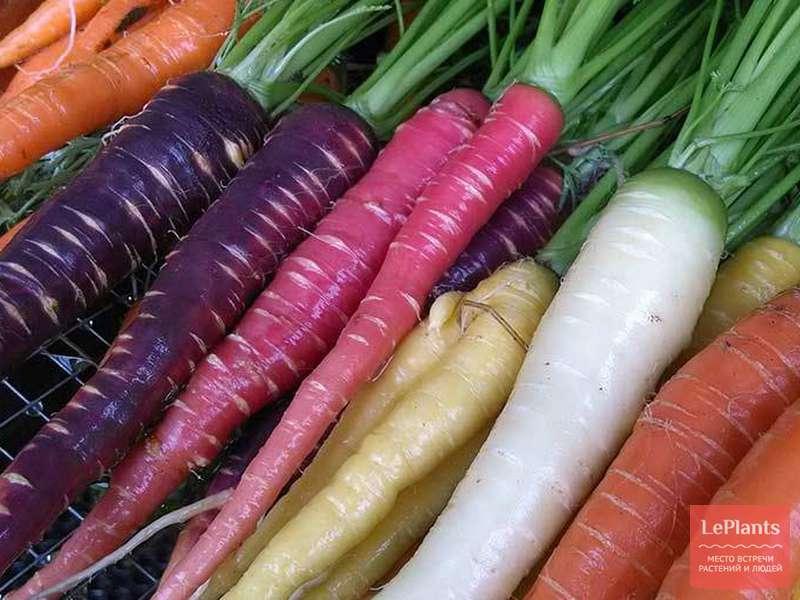 Морковь сорта для Средней полосы России