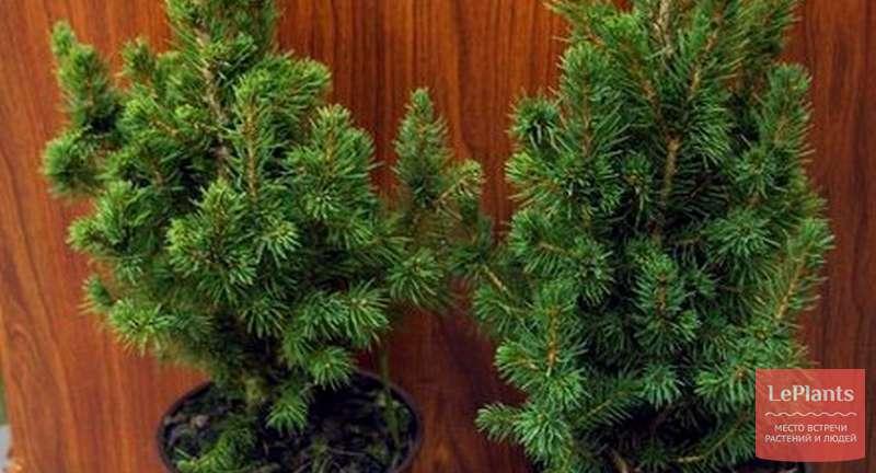 Хвойные растения в доме — миссия выполнима
