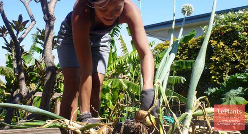 Cбор урожая лука: сроки выкопки по регионам, агротехника, сушка и подготовка к хранению