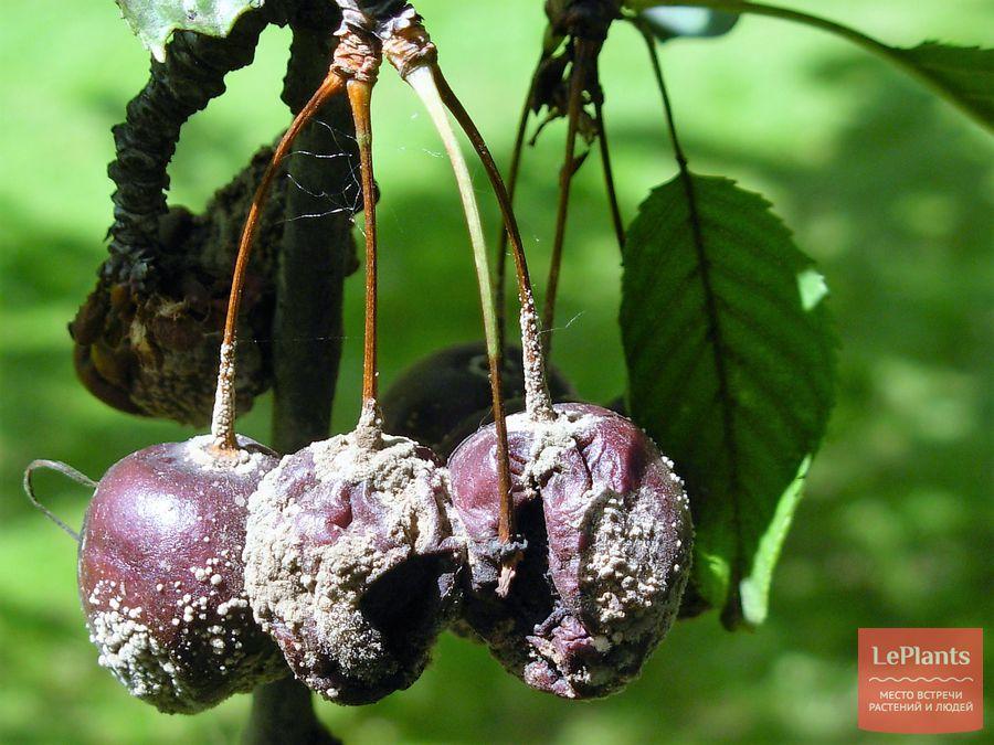 коккомикоз на плодах