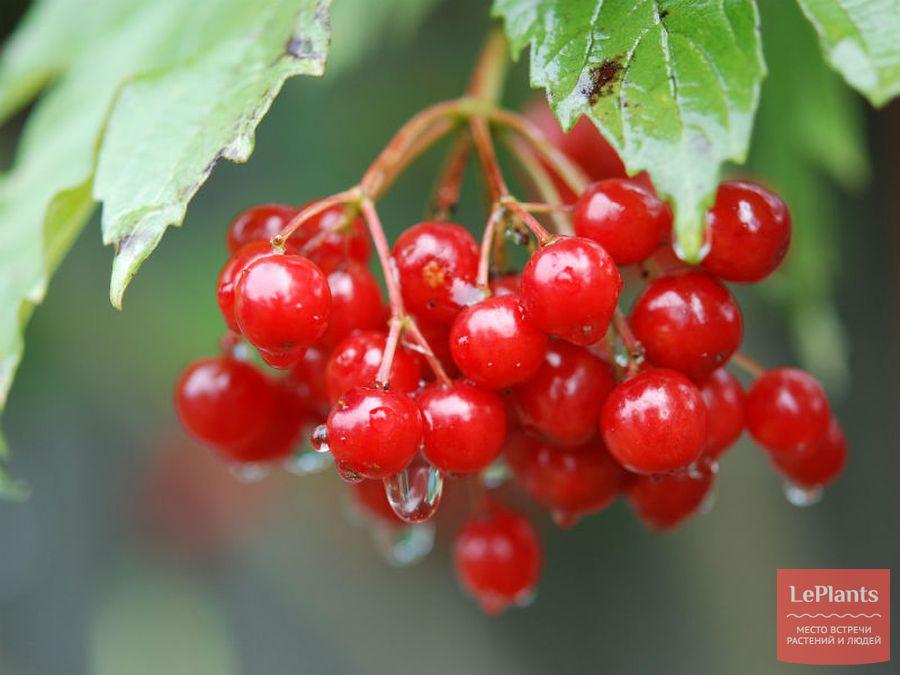 Калина обыкновенная 'Красная гроздь'