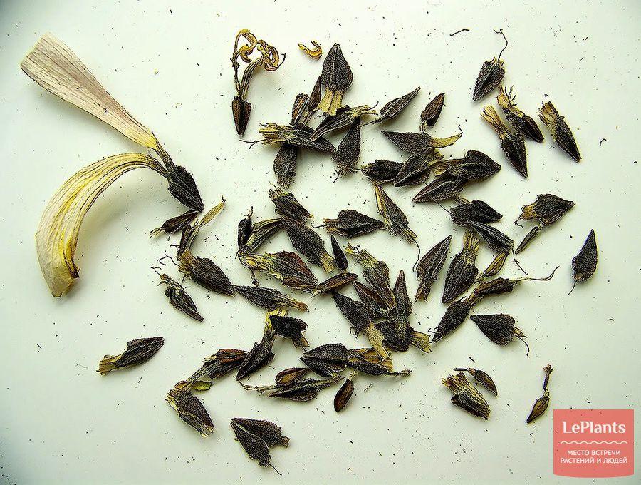 цинния – семена