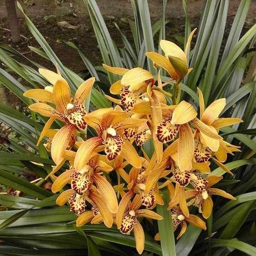 Орхидея Цимбидиум Cymbidium Chen's Ruby