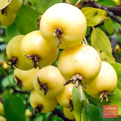 Яблоня 'Китайка золотая ранняя'