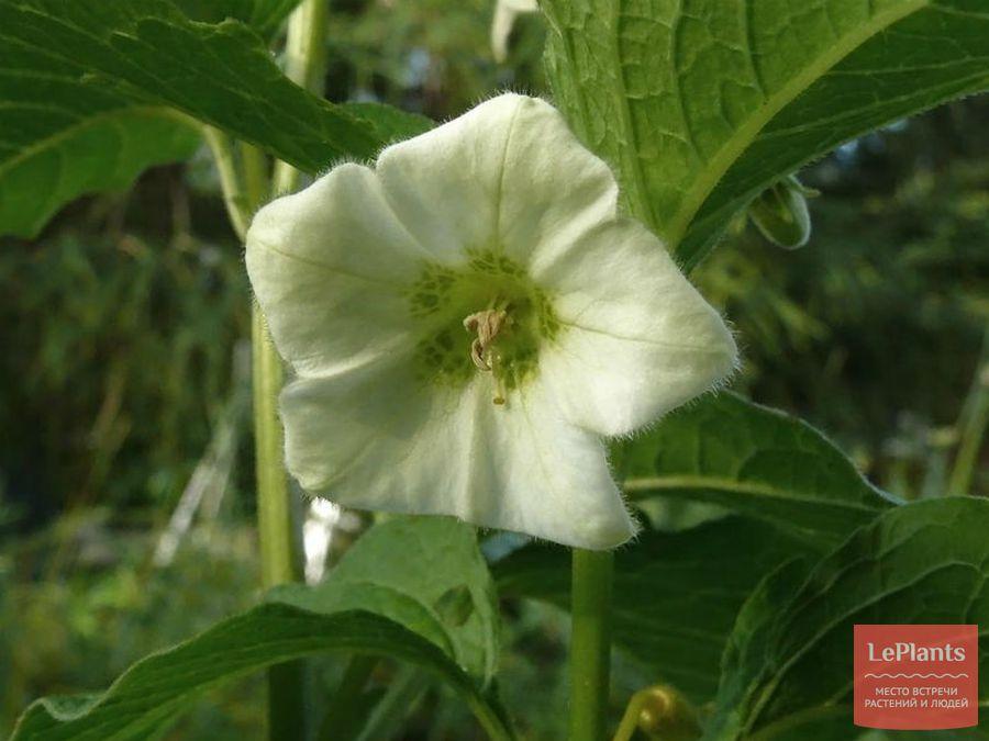 Цветок Физалиса