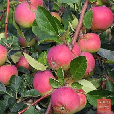Яблоня 'Налив розовый'