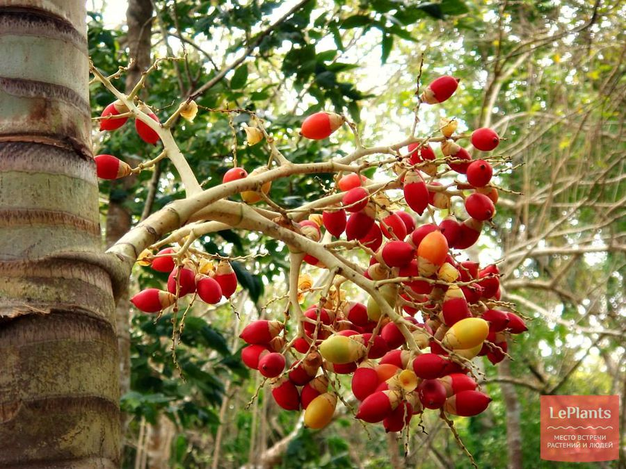 Зрелые плоды Ареки катеху