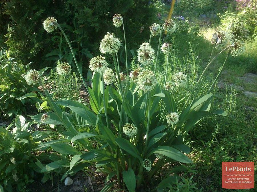 Цветки Лука-слизуна