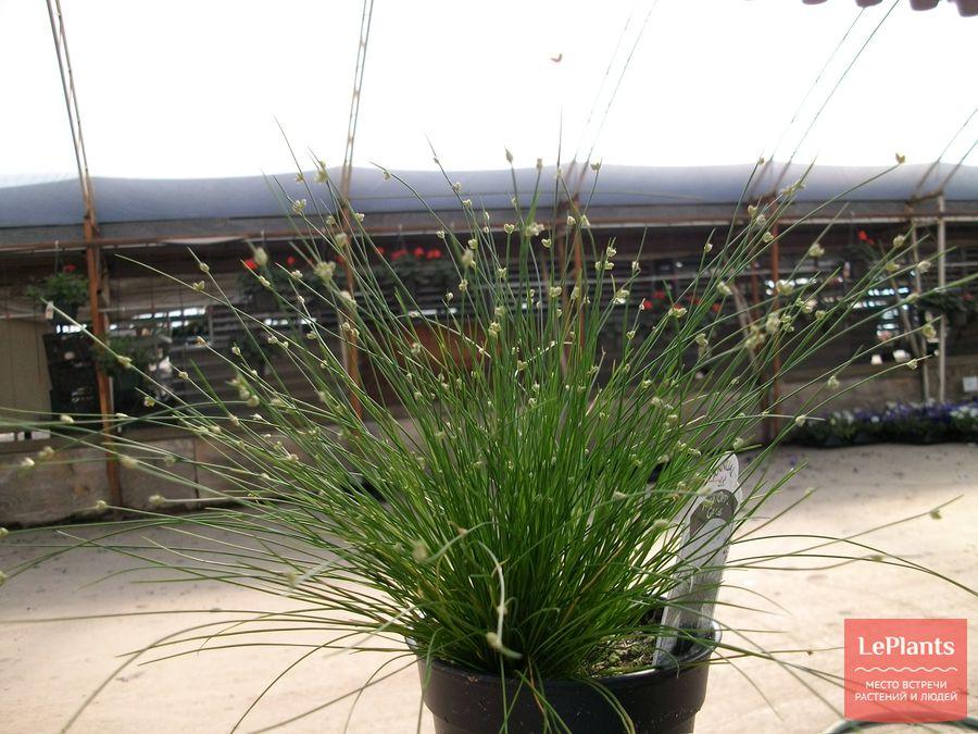 выращивание изолеписа в помещении