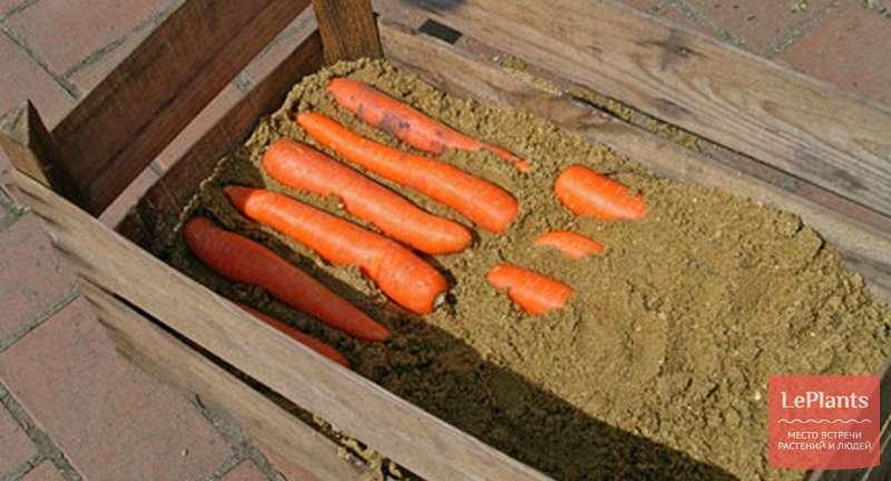 Хранение моркови на зиму в погребе, квартире и подвале