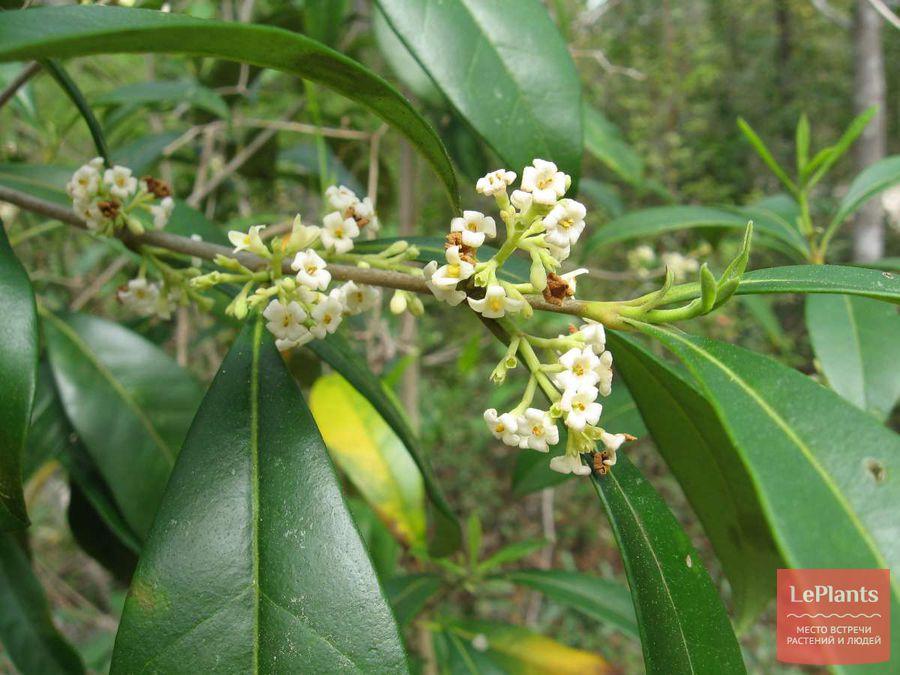 выращивание османтуса американского без хлороза