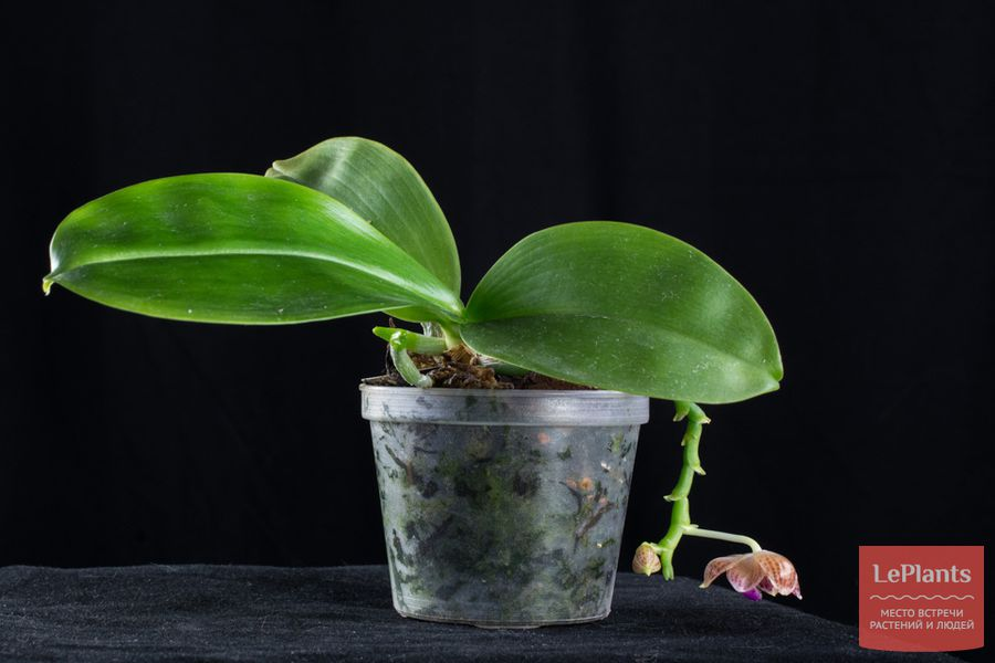 Фаленопсис яванский