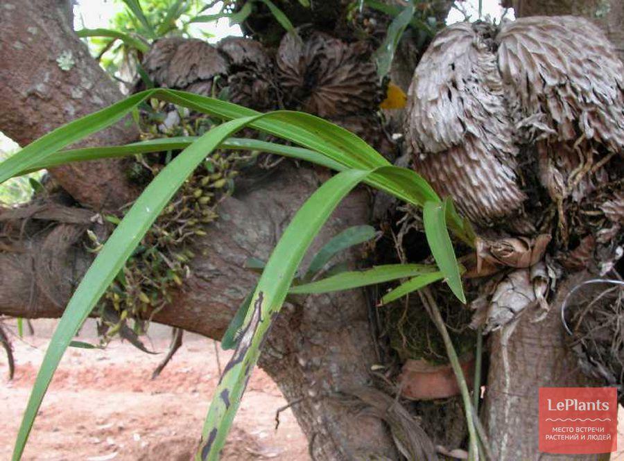 Цимбидиелла леопардовая