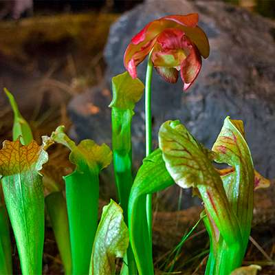 Как справляться с хищной флорой — научат в «Аптекарском огороде»