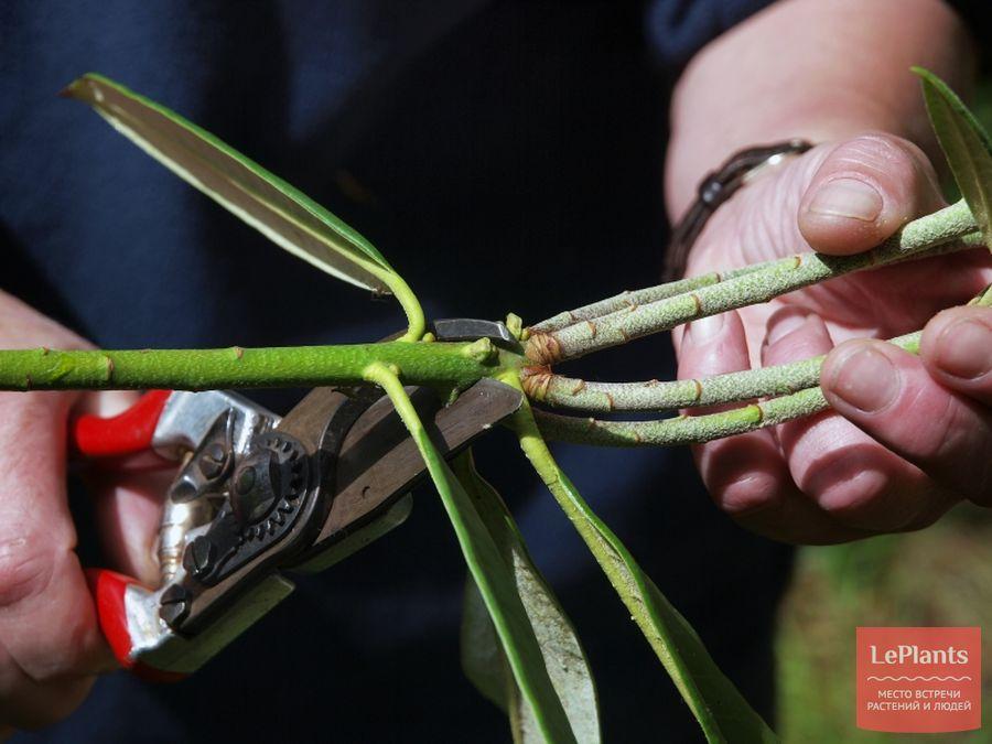 выращивание рододендрона из черенков