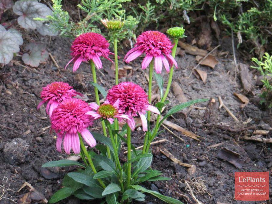 Эхинацея пурпурная 'Пикколино'