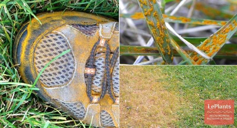 Желтеет газонная трава, грибы на газоне и другие напасти: определяем причины и боремся