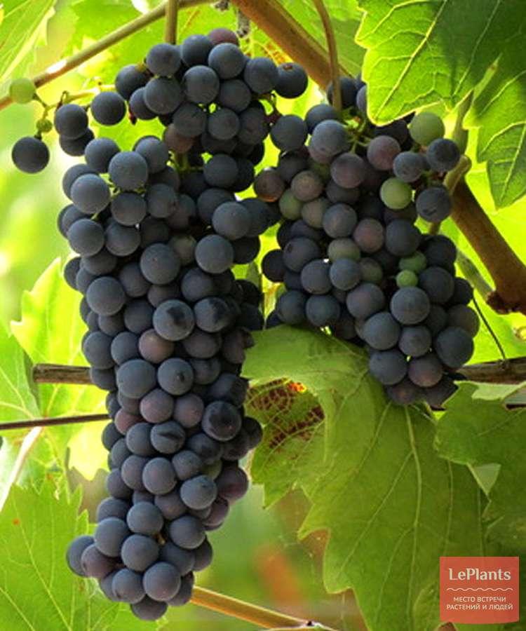 виноград каберне северный описание сорта