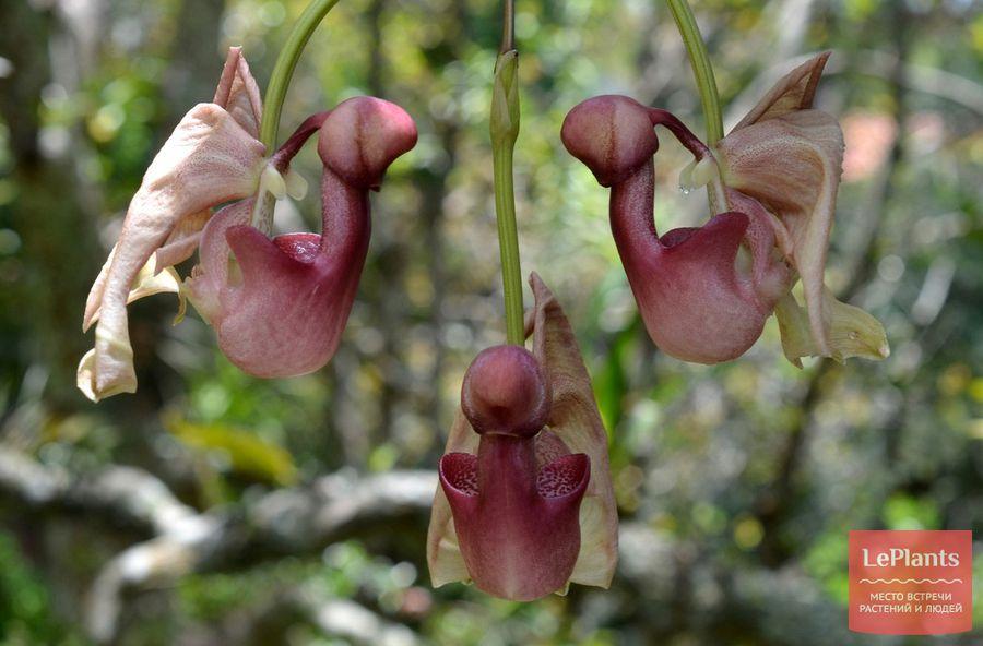 Coryanthes speciosa