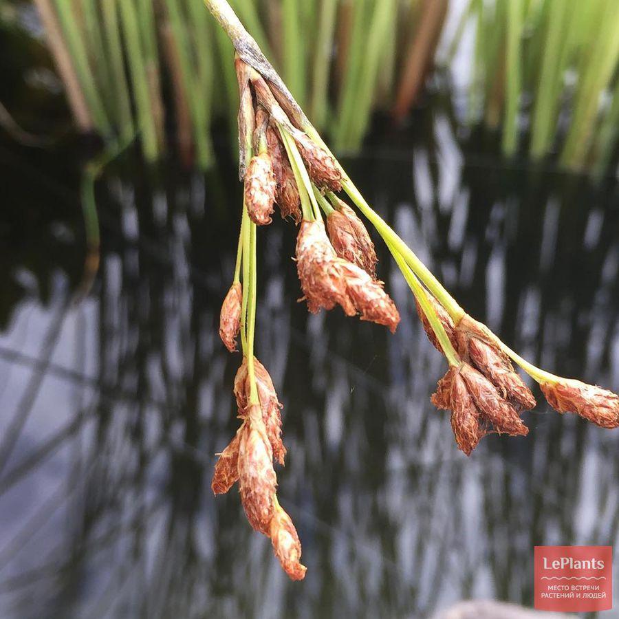 выращивание схеноплектуса озерного