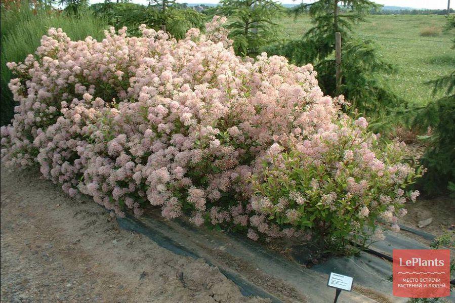 выращивание цеанотуса