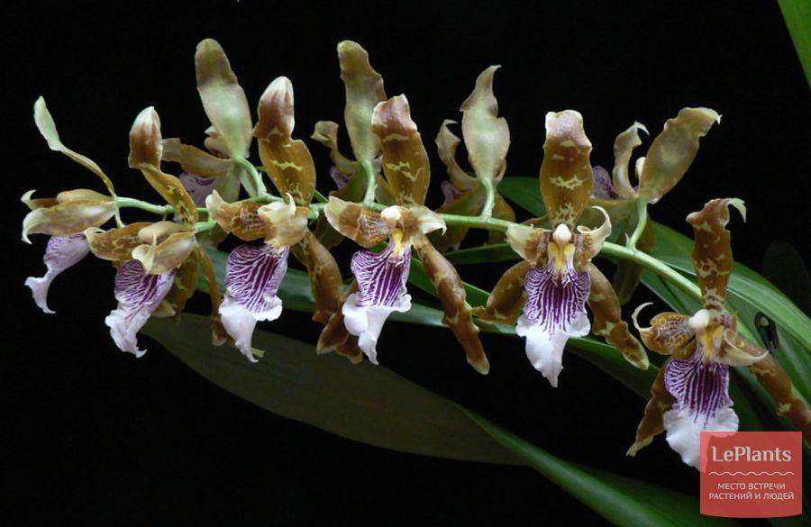 Орхидея Онцидиум Гарри