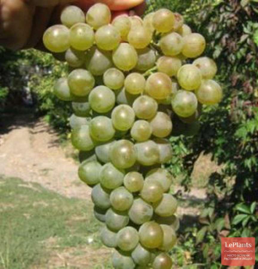 взял виноград болгария устойчивая описание сорта фото идеи