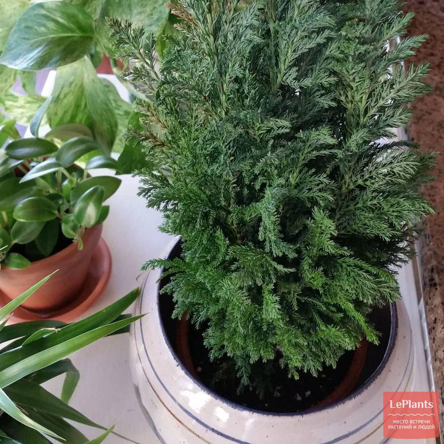 секреты комнатного выращивания кипарисовика Лавсона