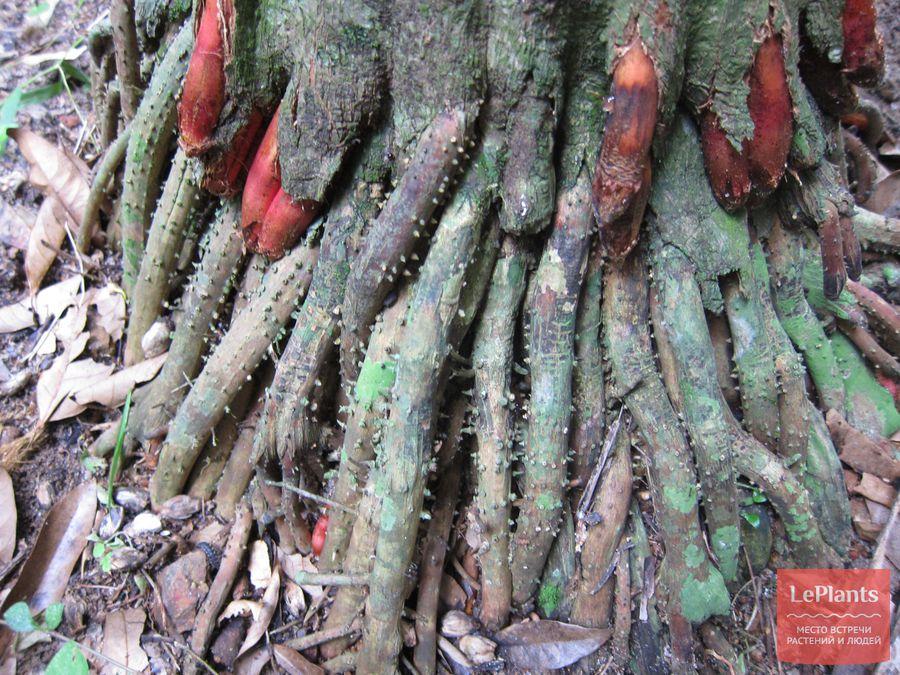 Корни пальмы