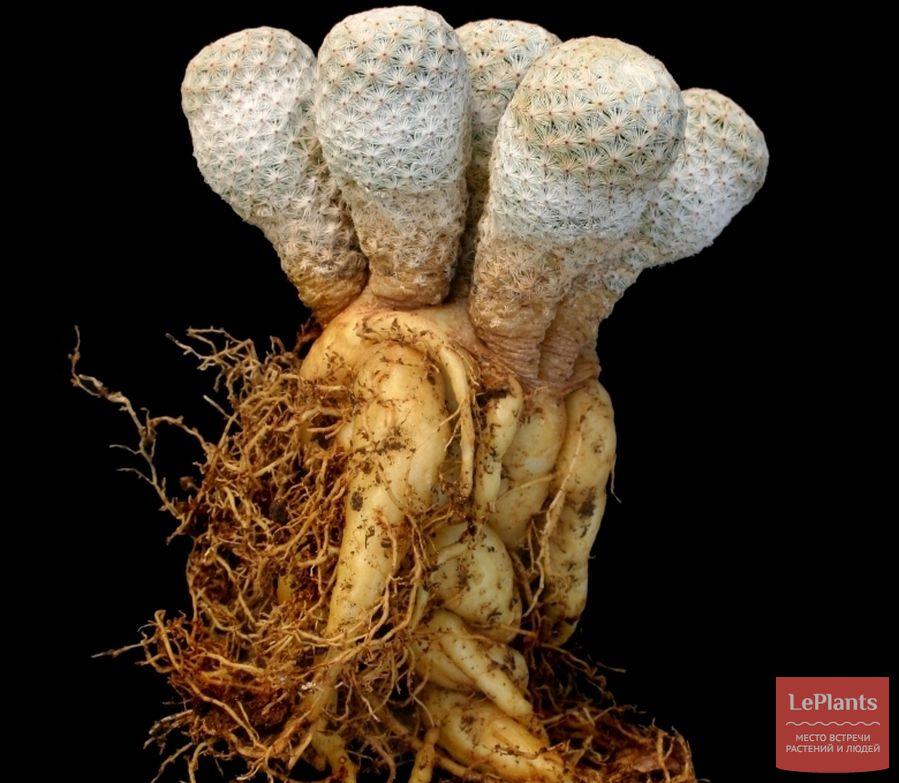 корневая система маммиллярии