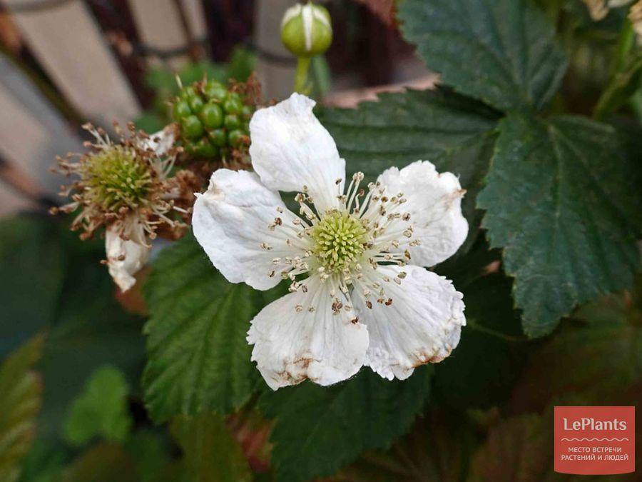 Цветок малины