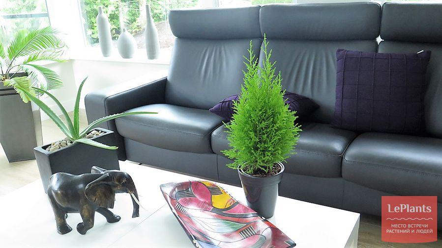 советы по выращиванию купрессуса в помещении