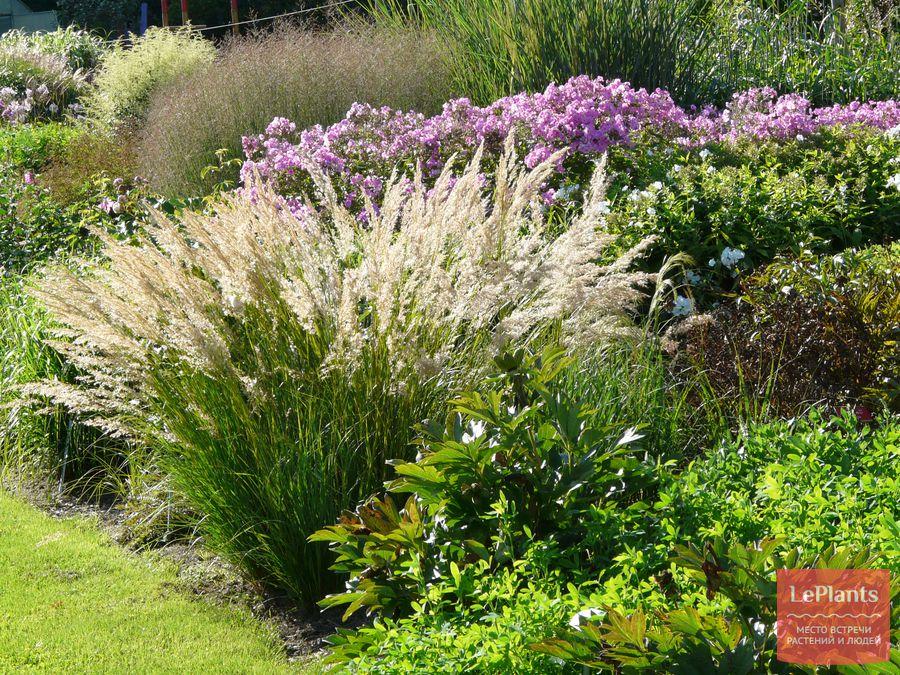 как вырастить садовый ковыль