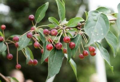 Яблоня сахалинская