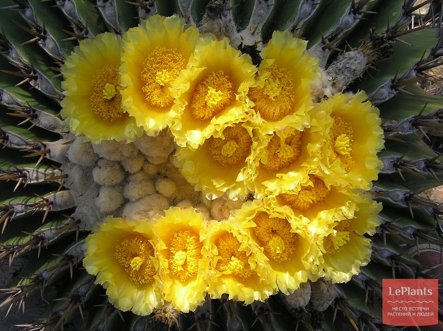 Эхинокактус плоскоколючковый цветет