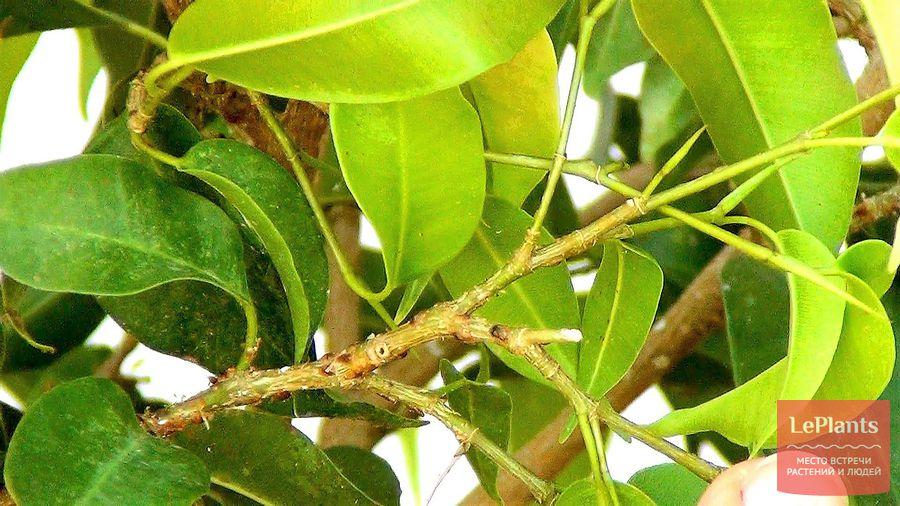 поражение растения щитовкой