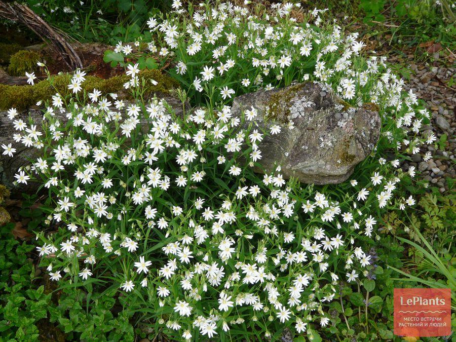 как вырастить звездчатку ланцетовидную в саду