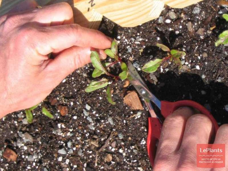 Как посадить на рассаду свеклу