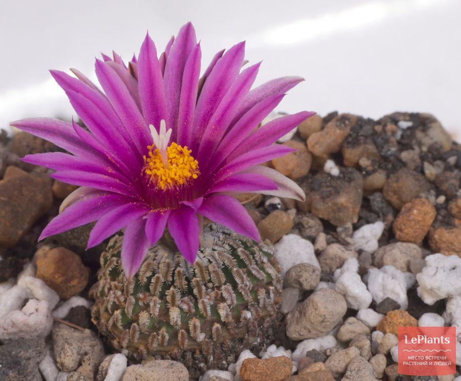 цветок турбиникарпуса