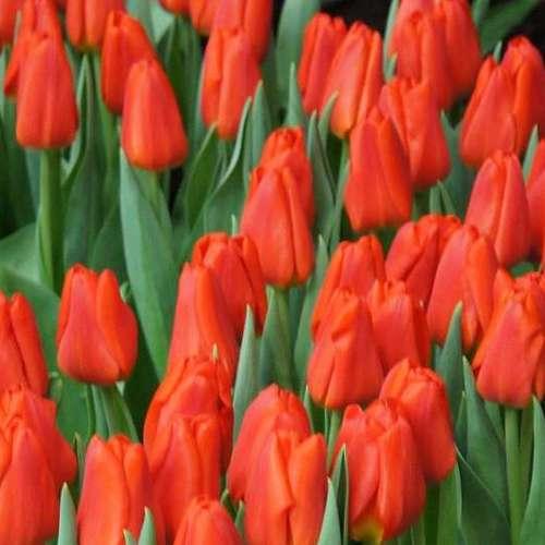 Тюльпаны оптом по всей России от производителя