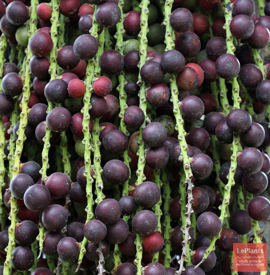 Плоды Кариоты жгучей