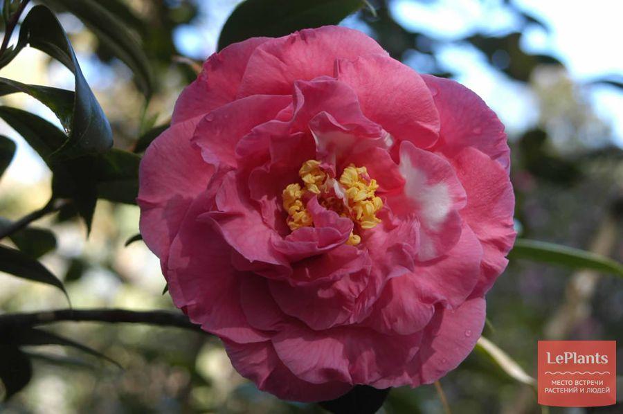 Camellia japonica 'William S. Hastie'