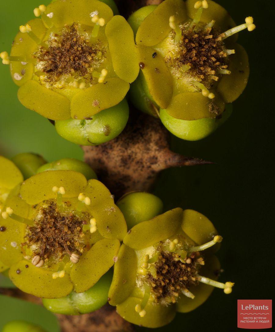 Молочай абиссинский цветет