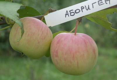 Яблоня 'Абориген'