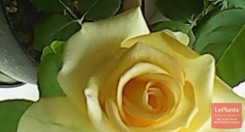 Если роза сбросила листья и потеряла декоративность