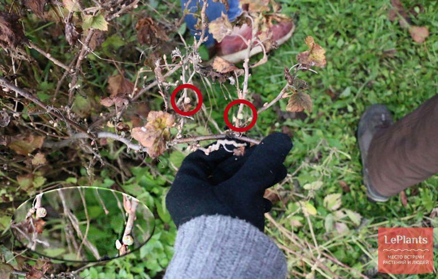 Почковый клещ поразил почки смородины: необходимо их удалить